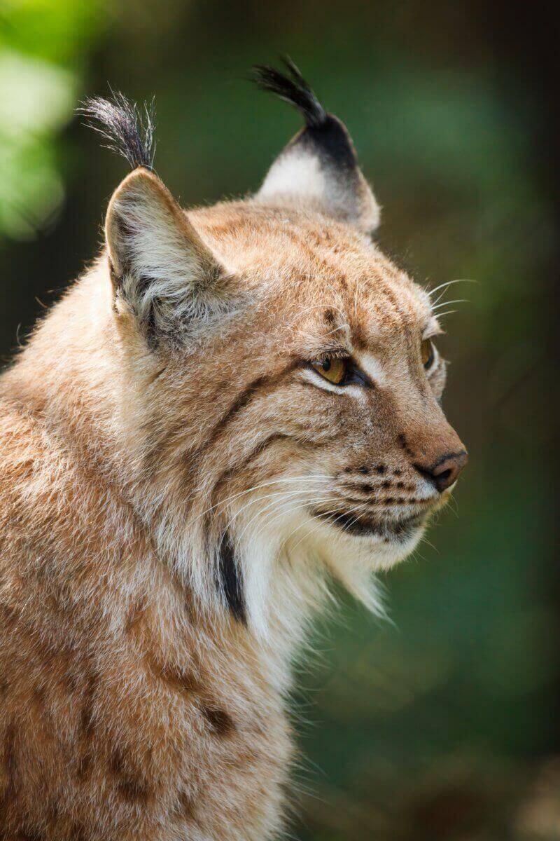 réintroduction de lynx des Vosges