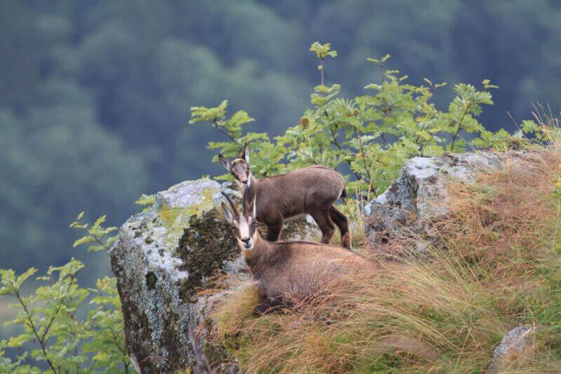 découverte des chamois dans leur milieu naturel